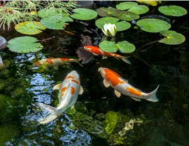 Water Features - Koi Ponds Photo 3